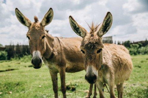 Donate to Kenya Donkey Crisis