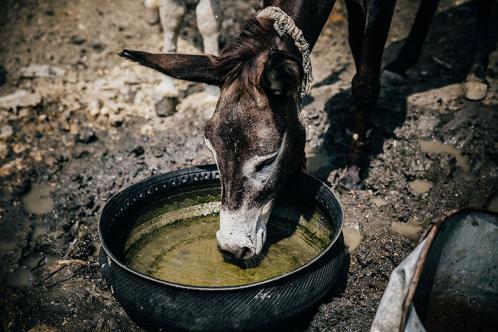 A donkey drinking