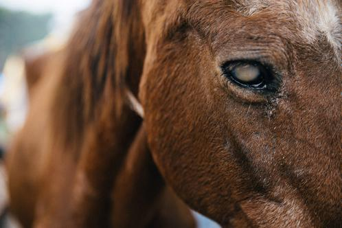 A horse with an eye infection