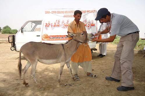 Brooke vet treating donkey