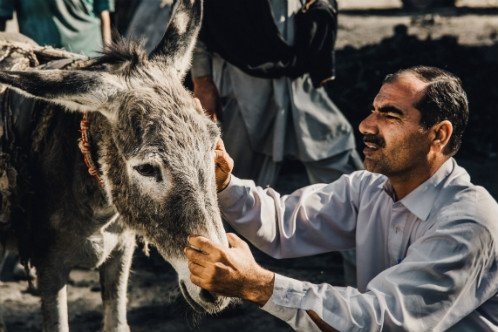 Treating a donkey