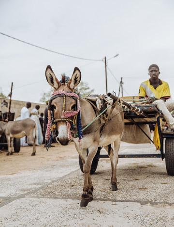 Farming donkey in Senegal