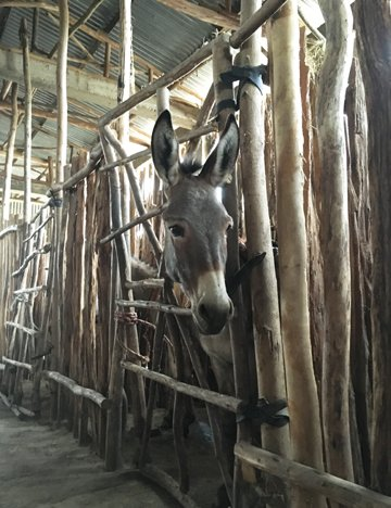 Donkey in Brooke-built shelter, Halaba, Ethiopia