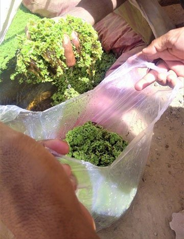 Green azolla being stored