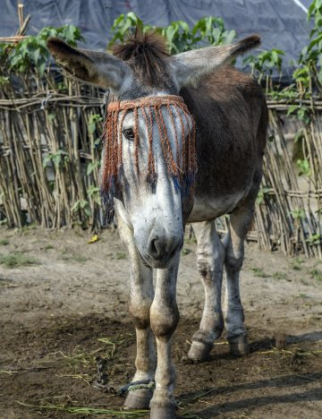 Donkey stallion wearing a fly fringe to prevent flies spreading surra disease.